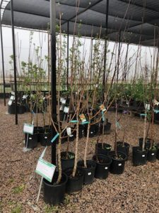 fruit trees - peach apple plum pear fig persimmon nectarine cherry pecan apricot
