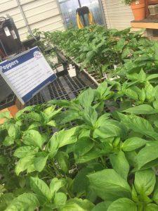 pepper transplants